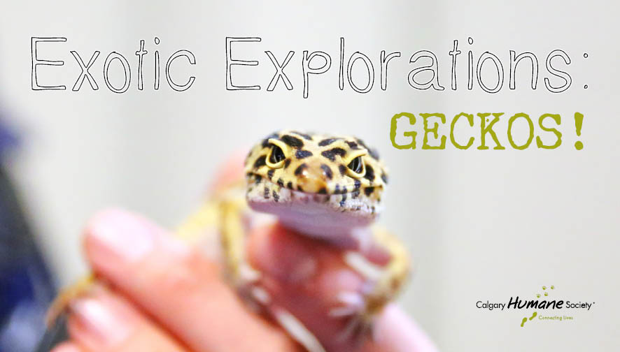Exotic Explorations Geckos- w