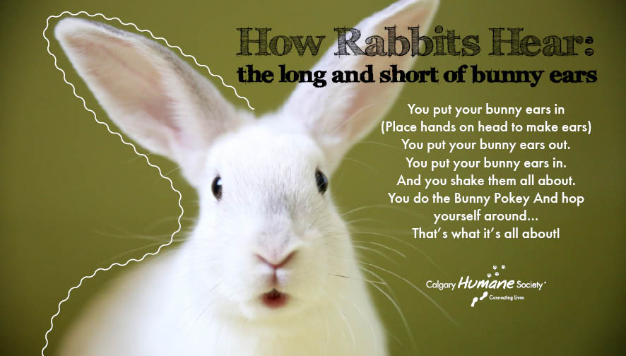 How Rabbits Hear The Long And Short Of Bunny Ears